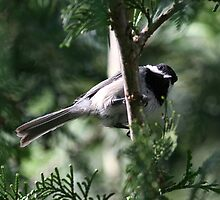 Chickadee by Dave Davis