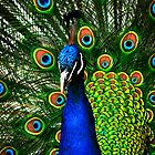 Peacock plumage by Parnellpictures