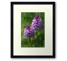 Pyramidal Orchids Wild Flowers Framed Print