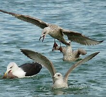 Black Back Gull With Youngsters by lynn carter