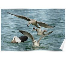Black Back Gull With Youngsters Poster