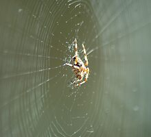 Spider - waiting for dinner! by linzi200