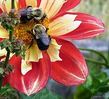 Bees drunk on dahlia pollen # 7 by Layla Morgan Wilde