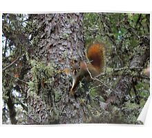 Red Squirrel ?! Poster