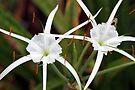 Spider Lilies by RebeccaBlackman