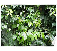 Dark green leaves of ivy creeping close-up Poster