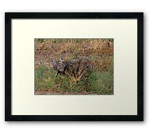 Coyote ~ Kaɪˈoʊti Framed Print