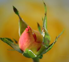 Yellow Rose Bud Infront Of Yellow Rose by Terry Aldhizer