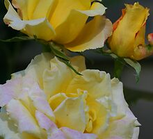 Yellow Roses by Terry Aldhizer