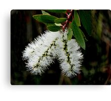 White Bottle Brush Bloom Canvas Print