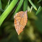 Dead Leaf Butterfly by Tony Wilder