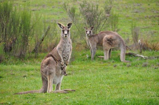 The Kangaroos of Hill End NSW by Bev Woodman