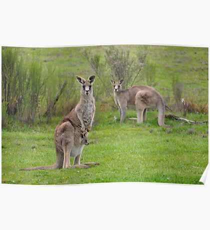 The Kangaroos of Hill End NSW Poster