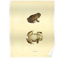 North American Herpetology A Desciption of the Reptiles Inhabiting the United States Chichowski John Edwards Holbrook 1836  0128 Frog Poster