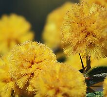 Australian wattle - green and gold close up by Joanne Emery