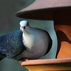 A Shy Rainforest Pigeon by byronbackyard