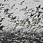 Snow geese by USrealmArt