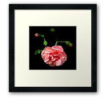 Peachy pinks rising from the dark Framed Print