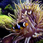 Clownfish by Loree McComb