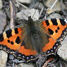 Small Tortoiseshell Butterfly by John Keates