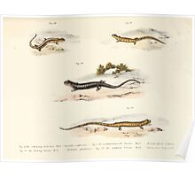 Leopold Joseph Fitzinger 1867 0213 Picture Atlas for popular scientific natural history of vertebrates Poster