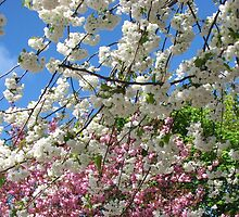 Blue Sky and Beautiful Blossoms by kathrynsgallery