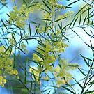 Spring Wattle,Quensland Australia by Virginia McGowan