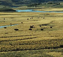 Bison Herd In Yellowstone by Tim Sousa