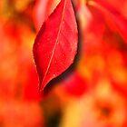 red leaf by wiwi