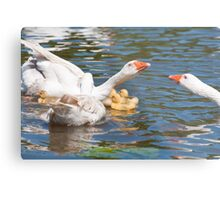 Protection: Adult geese protest young goslings Metal Print