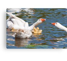 Protection: Adult geese protest young goslings Canvas Print