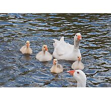 White Goose Family: Adults with Goslings Photographic Print