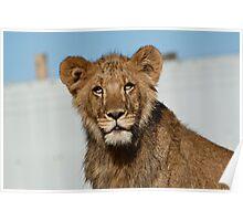 Lion Cub, West Midlands Safari Park, UK Poster