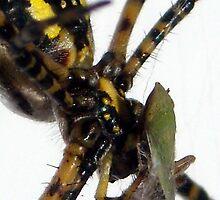 Spider Feeding V by Cameron Hampton