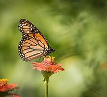 Monarch On Zinnia 1-2015 by Thomas Young