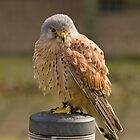 Sparrow hawk I think by Ian Salter