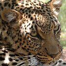 Leopard 3 by Alexa Pereira