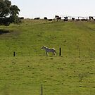White Horse & Cows on Crest of the Hill Pasture by Sandra Gray