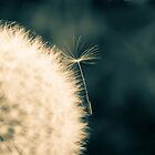 Dandelion flower head by pulen