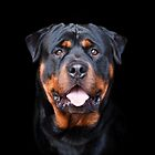 Rottweiler by Helen Green