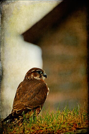 Merlin in the barnyard by buttonpresser