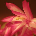 Christmas Cactus - Macro by Mark Theriault