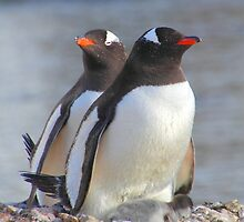 Pair of Gentoo Penguins on the Nest with Chicks by Carole-Anne
