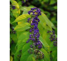 Tiny purple berries Photographic Print