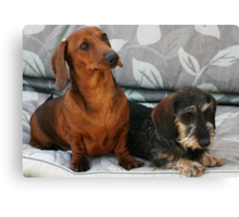 Mini smooth and mini wire dachshund friends Canvas Print