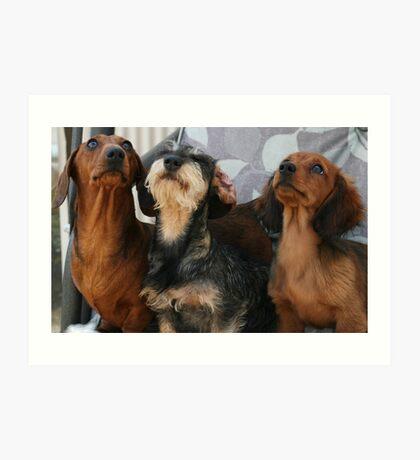 Three dachshund puppies playing Art Print
