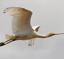 Spoonbill Aloft by Phillip Weyers