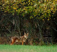 Coyote by Daniel Owens