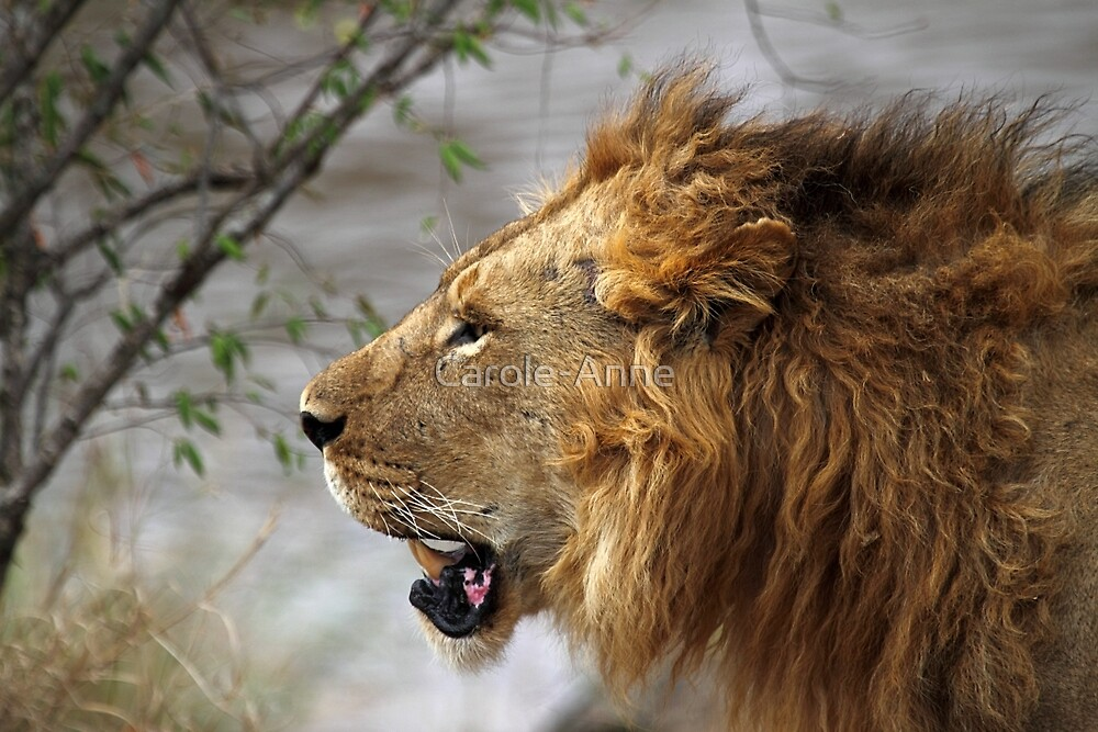 Profile Portrait, Large Male Lion, Maasai Mara, Kenya by Carole-Anne