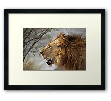 Profile Portrait, Large Male Lion, Maasai Mara, Kenya Framed Print